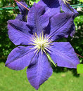 Purple blue clematis flower closeup on in bloom against a garden background Royalty Free Stock Photography