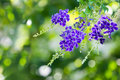 Purple blue duranta flower erecta aka golden dewdrop pigeon berry sky natural green background Royalty Free Stock Photo