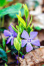 Purple blue flowers of periwinkle growing in the meadow (vinca minor), closeup. Amazing spring floral background. Royalty Free Stock Photo