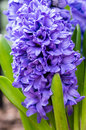 Purple or blue hyacinth flowers in bloom a group of Royalty Free Stock Photography