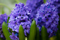Purple or blue hyacinth flowers in bloom a group of Stock Photography