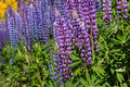 Purple and blue lupin flowers closeup of Royalty Free Stock Images