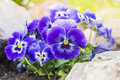Purple blue pansy flowers in rock garden summer Royalty Free Stock Photography