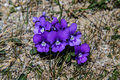 Purple blue wild flowers common in the mountainous areas of the carpathians in romania Royalty Free Stock Photo