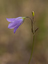 Purple bluebell flower at Quarry Lake Royalty Free Stock Photo
