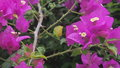 Purple bougainvillae along the walk on a tropical day in waikiki beach Royalty Free Stock Photo