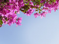 Purple bougainvillea against blue sky blooming shallow depth of field and lots of copy space Stock Image