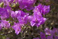 Purple Bougainvillea close up Royalty Free Stock Image