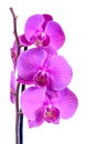 Purple branch orchid  flowers, Orchidaceae, Phalaenopsis known as the Moth Orchid, abbreviated Phal Royalty Free Stock Photo