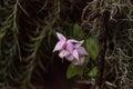 Purple Brassavola orchid Royalty Free Stock Photo
