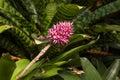 Purple bromeliad flower head Royalty Free Stock Photo