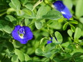 Purple butterfly pea violet color flowers of asian pigeonwings beautiful blue violet tropical flowers that can dry out to make Stock Images