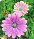 Purple Cape Marguerite Daisy flowers blossoming during summer Royalty Free Stock Photo