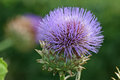 Purple cardoon flower Royalty Free Stock Photo