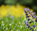 Purple catmint branch against blurred background Royalty Free Stock Photo