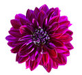 Purple Chrysanthemum Flower Royalty Free Stock Photography