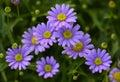 Purple Chrysanthemums Flowers ...