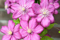 Purple clematis Stock Photos