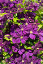 Purple clematis Royalty Free Stock Images