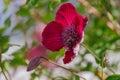purple Clematis alpina