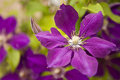 Purple clematis blossom Royalty Free Stock Photos