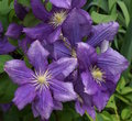 Purple Clematis in the garden Royalty Free Stock Photography