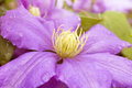 Purple clematis selective focus of a bloom Royalty Free Stock Image