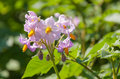 Purple colored flowers at a potato plant Royalty Free Stock Photo