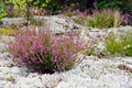 Purple Colored Heather In Nature