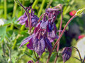 Purple Columbine Blooming In S...