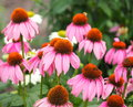 Purple Cone Flower Or Echinacea Purpurea Royalty Free Stock Photo