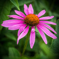 Purple Cone Flower, Echinacea purpurea Royalty Free Stock Photo