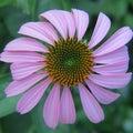 Echinacia Flower Royalty Free Stock Photo