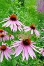Purple coneflower Royalty Free Stock Photo