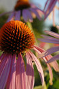 Purple coneflower with pink petals Royalty Free Stock Photo