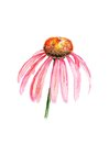 Purple coneflower watercolor image of conefrower echinacea purpurea Royalty Free Stock Photos