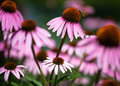 Purple Coneflowers (Echinacea) Background Royalty Free Stock Image