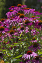 Purple coneflowers a vertical picture of a garden of Royalty Free Stock Image
