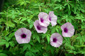 Purple convolvulus sabatius wild flower Stock Photo