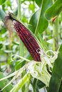 Purple corn on cob the stalk ready for harvest Stock Photos