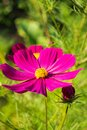 Purple cosmo flower in the garden Royalty Free Stock Photo