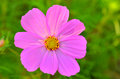 Purple cosmos flower a against a grassy green blurred background Stock Photography