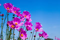 Purple cosmos flower and blue sky in the garden Royalty Free Stock Photo