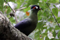 Purple crested lourie - turaco Stock Photos