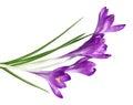 Purple Crocus Royalty Free Stock Photo