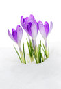 Purple Crocus Stock Photos
