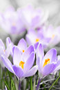 Purple crocus blossoms Stock Photo