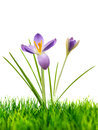 Purple crocus on fresh green grass on white Royalty Free Stock Photo