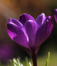 Purple crocus flower macro closeup Royalty Free Stock Photo