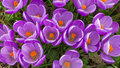 Purple crocus flowers colourful in grass Royalty Free Stock Image